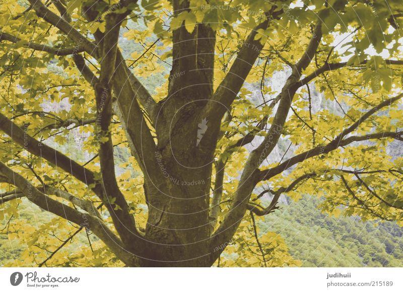 Blätterdach Umwelt Natur Landschaft Herbst Pflanze Baum Blatt Blühend verblüht gelb grün Baumstamm Farbfoto Menschenleer Außenaufnahme Baumkrone Detailaufnahme