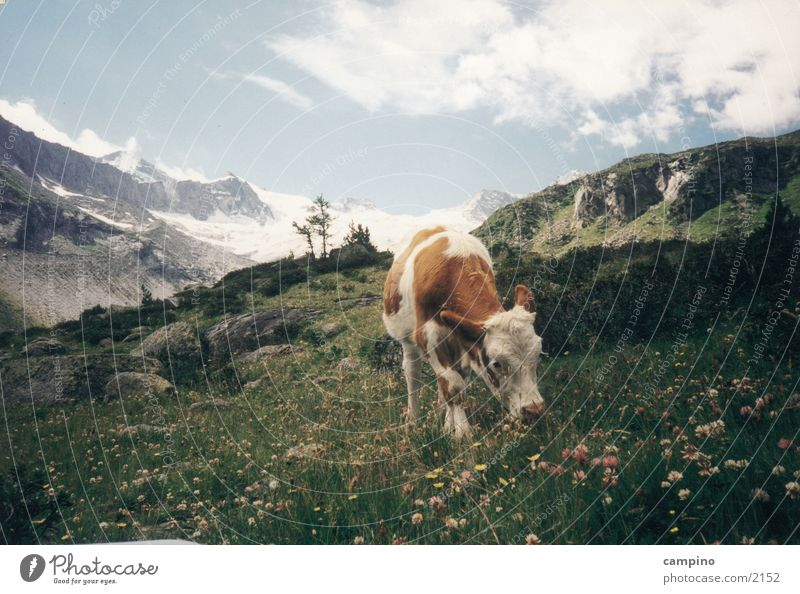 Muhhh Natur Tier Berge u. Gebirge Kuh Rind