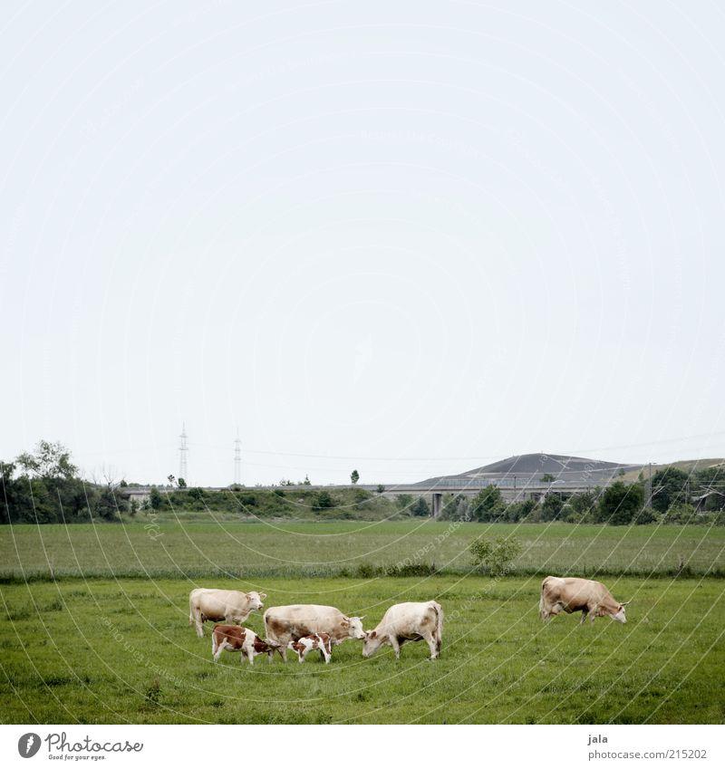 familienbande Natur Landschaft Himmel Pflanze Gras Feld Hügel Tier Kuh Weide Herde füttern Nahrungssuche Kalb nahrungskette Tierzucht Milchkuh Fressen Farbfoto