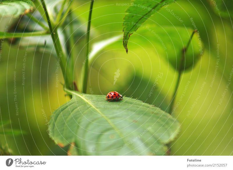 Mutschekiebchen Umwelt Natur Pflanze Tier Sommer Gras Blatt Grünpflanze Wildpflanze Garten Park Wildtier Käfer 1 frei klein nah natürlich grün rot schwarz
