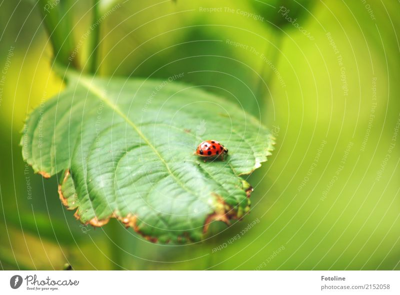 Glückskrabbler Umwelt Natur Pflanze Tier Sommer Blatt Grünpflanze Garten Park Käfer 1 frei hell klein nah natürlich grün rot schwarz Marienkäfer krabbeln Insekt