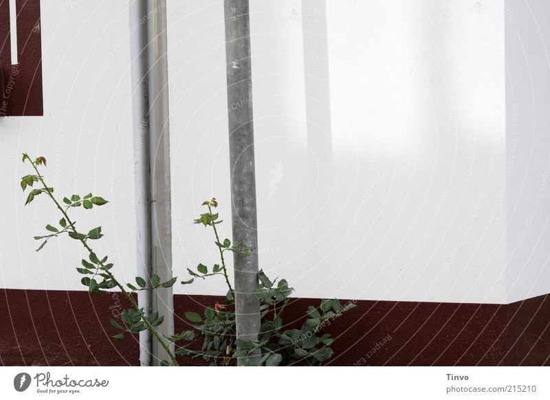 Eckpfeiler weiß Haus Wand Mauer Metall Fassade Ecke Röhren Eisenrohr silber Pfosten Neubau Regenrinne Fallrohr Naturwuchs Rosengewächse
