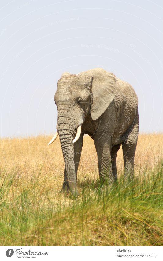 Nix wie weg!!! Ferien & Urlaub & Reisen Abenteuer Safari Natur Himmel Gras Nationalpark Savanne Elefant Elefantenohren Rüssel 1 Tier gehen bedrohlich dick groß