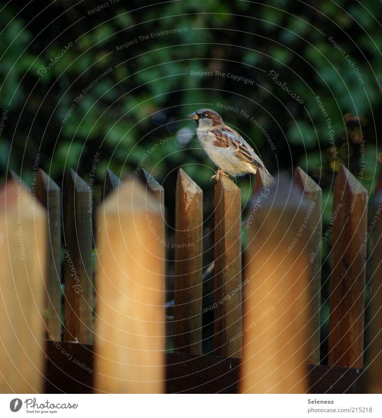 Zaun-königlich Freiheit Sommer Umwelt Natur Gartenzaun Tier Vogel Spatz beobachten sitzen frei klein Farbfoto Außenaufnahme Menschenleer Tag Schatten Zaunpfahl