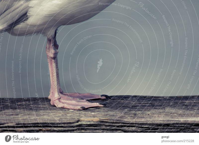 Blickrichtung Tier Holz Beine Vogel warten stehen Feder Holzbrett Möwe Krallen Balken Schwimmhaut