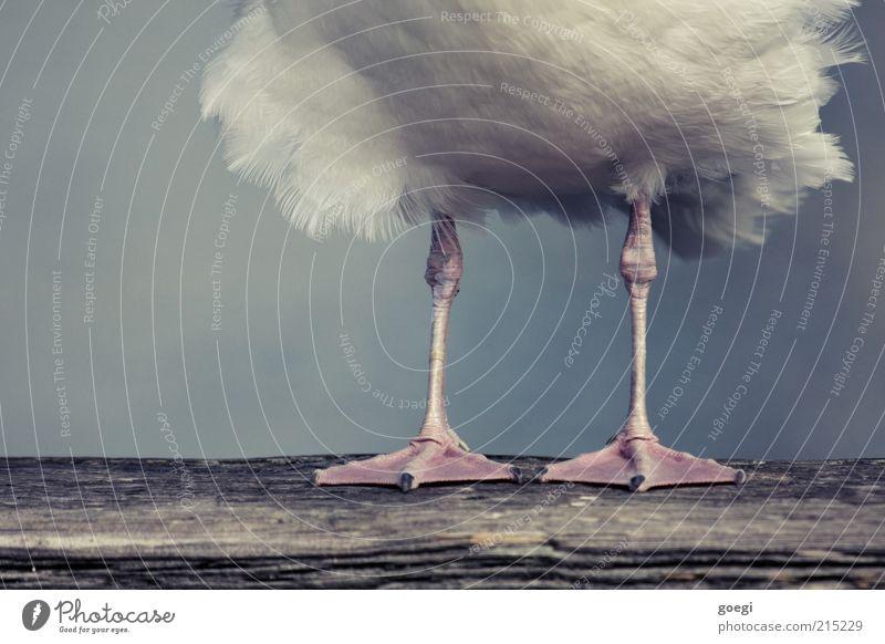 Standpunkt Tier Holz Beine Vogel warten stehen Feder Holzbrett Möwe Krallen Balken Schwimmhaut