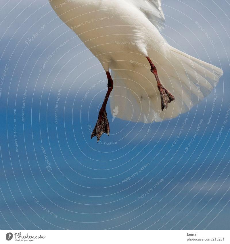 Sandige Füße Natur Himmel weiß blau Sommer Wolken Tier Vogel Tierfuß fliegen Feder Wildtier Schönes Wetter Möwe Schweben
