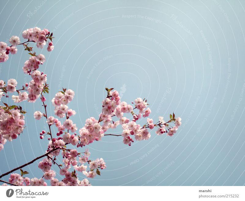 ein AntiRegenFoto Natur Himmel Frühling Sommer Pflanze Blüte blau rosa Kirschblüten sommerlich Schönes Wetter zart Farbfoto Außenaufnahme Textfreiraum rechts