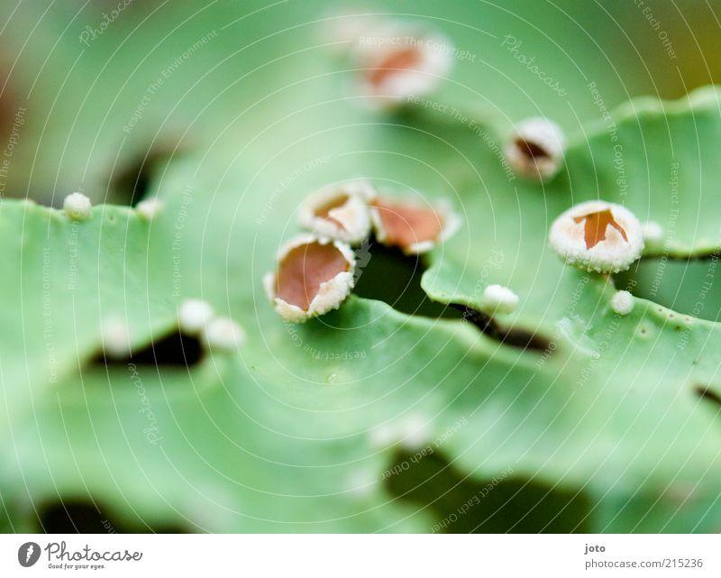 aus dem Märchenwald Natur grün Pflanze Blatt Blüte Frühling Umwelt frisch ästhetisch Punkt außergewöhnlich niedlich Moos exotisch Blütenknospen Inspiration