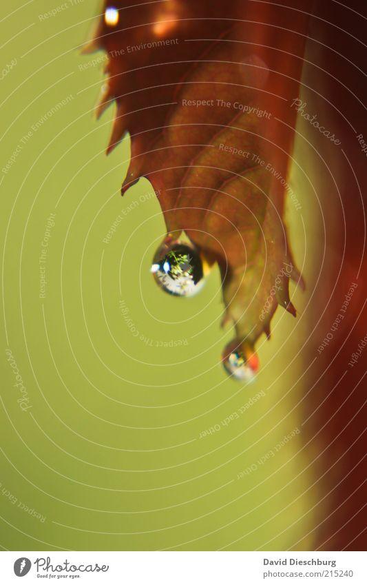 Schietwetter Natur Pflanze grün Wasser rot Blatt schwarz Herbst braun Wassertropfen nass rund Tropfen Kugel hängen feucht