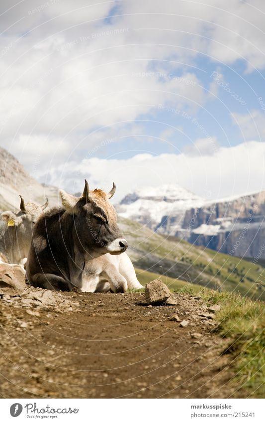 hochgebirgsmilchspender Pflanze Sommer ruhig Tier Ferne Berge u. Gebirge Freiheit Landschaft Felsen Ausflug Abenteuer liegen Alpen Kuh Fußweg blockieren
