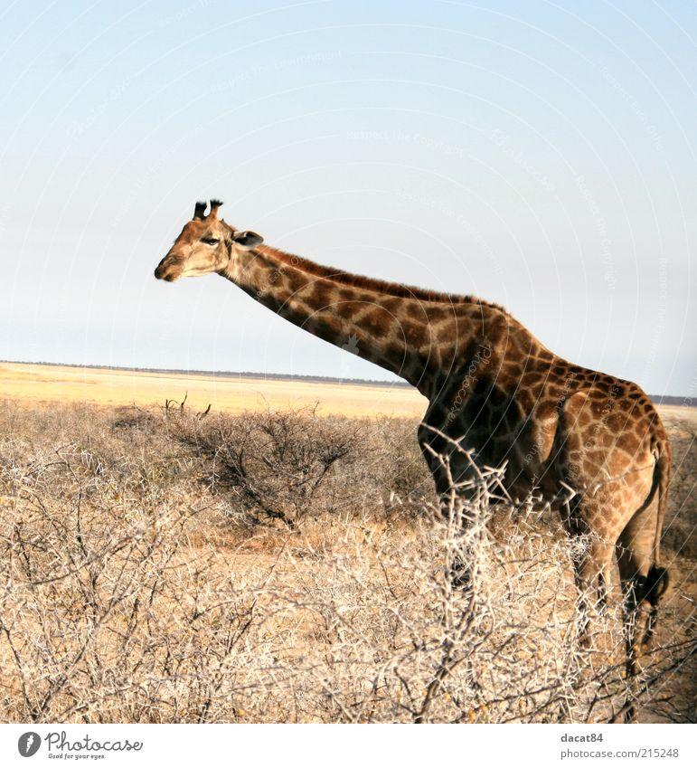 girAffe Tier Wildtier Tiergesicht Fell 1 beobachten blau braun gelb Etoscha-Pfanne Giraffe Afrika Namibia Farbfoto Außenaufnahme Menschenleer Textfreiraum oben