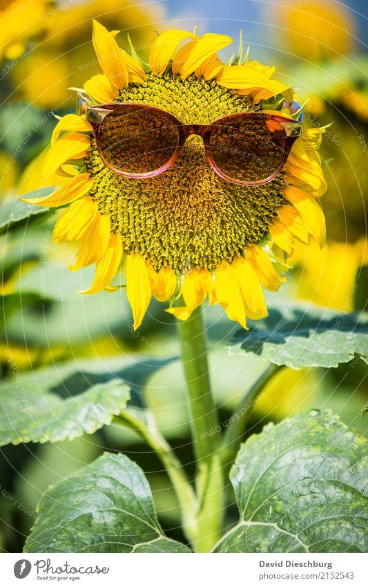 Mrs Sunflower Ferien & Urlaub & Reisen Sommerurlaub Natur Frühling Schönes Wetter Wärme Pflanze Blume Wiese Feld gelb grün Coolness Idylle Klima Sonnenblume