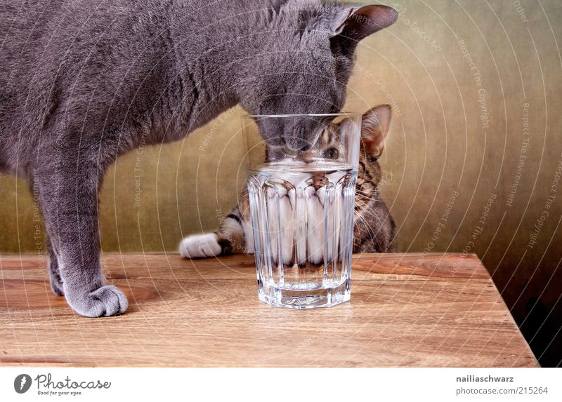 Durstige Katzen Wasser Tier Holz grau braun Glas Trinkwasser Getränk trinken silber Ernährung Haustier Landraubtier Nahaufnahme