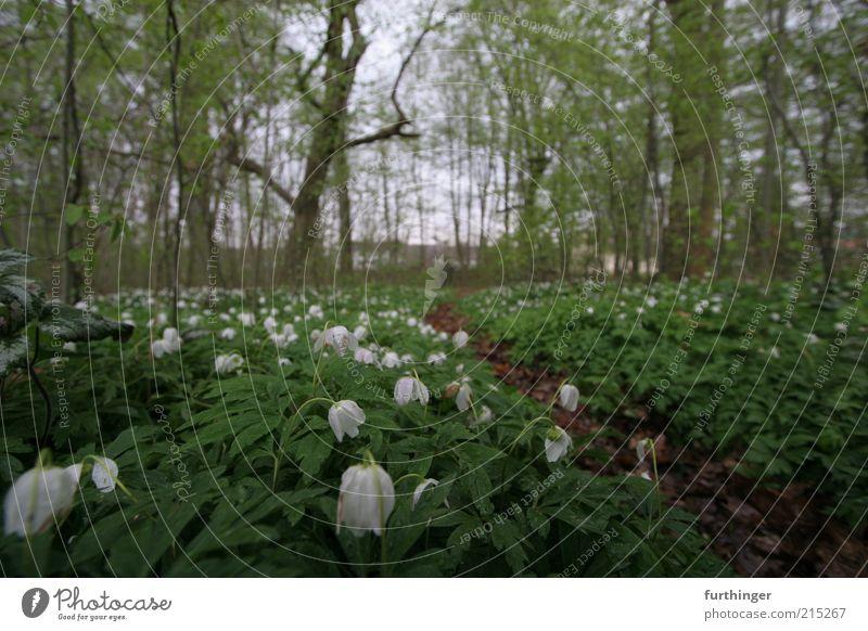 waldboden Umwelt Natur Landschaft Pflanze Frühling Baum Blume Blatt Blüte Grünpflanze Wildpflanze Park Wald Menschenleer grün weiß Stimmung ruhig Waldboden