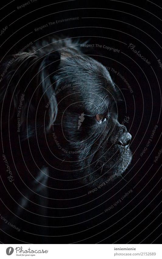Mammut Bull 1 Hund Einsamkeit Tier dunkel schwarz natürlich träumen elegant ästhetisch Kraft weich nah Haustier Fell Konzentration Partnerschaft