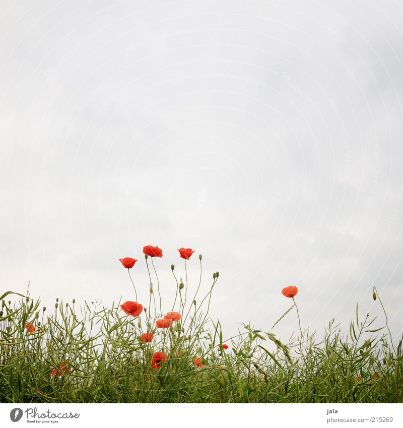 leicht bewölkt Natur schön Himmel Blume grün blau Pflanze rot Sommer Wiese Gras Landschaft Mohn Mohnblüte Wolkenhimmel
