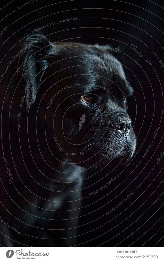 Mammut Bull 2 Haustier Hund 1 Tier elegant Entschlossenheit Freizeit & Hobby Fürsorge Hundenase Hundeblick Bulldogge schwarz Dickkopf Farbfoto Studioaufnahme