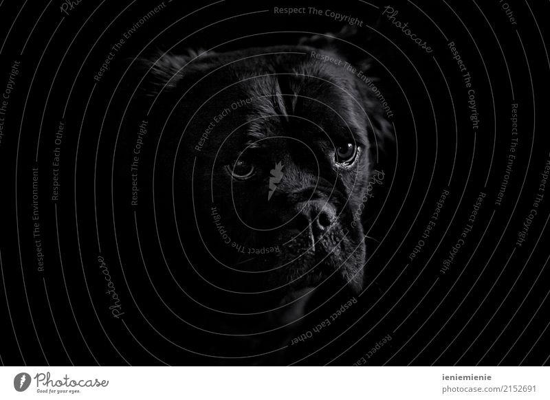 Mammut Bull 3 Tier Haustier Hund loyal Warmherzigkeit Sympathie Freundschaft Zusammensein Liebe Tierliebe Treue schön Mitgefühl elegant