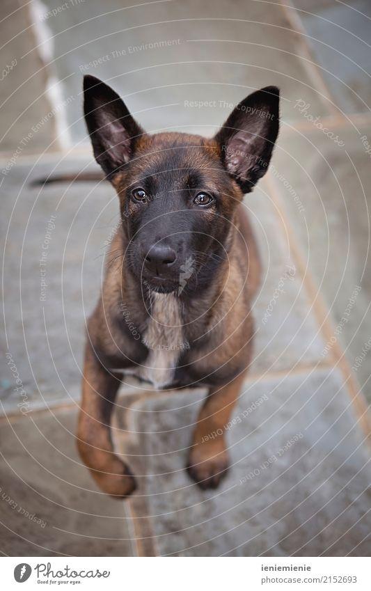 Puppy Malinois Tier Haustier Hund frech Freundlichkeit Fröhlichkeit Freude Tierliebe Freizeit & Hobby Freundschaft Zusammenhalt Welpe springen Blick malinoi