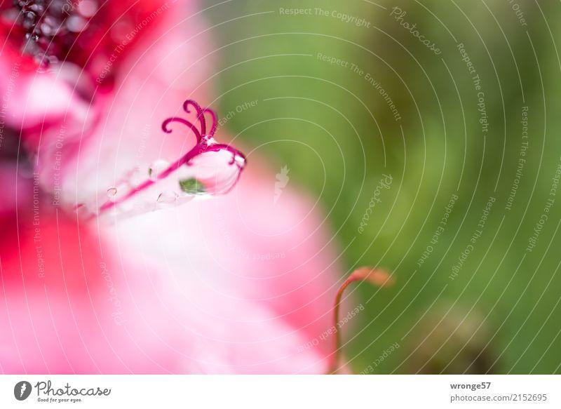 unscheinbares Detail | Blütenstempel - noch näher dran Pflanze Wassertropfen Sommer Regen Blume Garten klein grün rosa rot weiß Makroaufnahme Querformat winzig