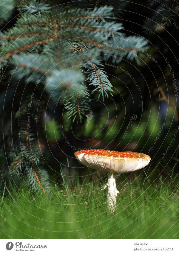Unter der Tanne Ernährung Natur Pflanze Baum Gras Tannenzweig Fliegenpilz Pilz Pilzhut Wiese Wald Wachstum ästhetisch natürlich schön weich grün rot weiß Glück