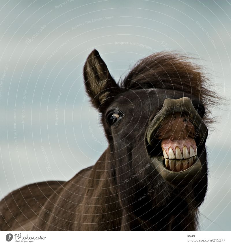 John die Zähne zeig Freude Tier lustig braun verrückt Pferd Gebiss Tiergesicht Haustier skurril Island tierisch Ponys Mensch Nutztier Maul