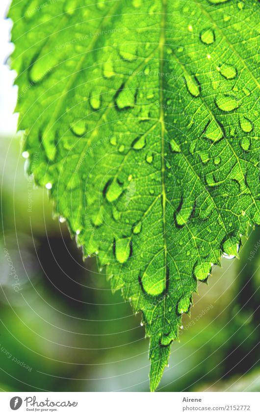 Feierlaune | lass ich mir doch durch das Wetter nicht vermiesen! Natur Wassertropfen Regen Blatt Garten Zacken Tropfen tropfend glänzend frisch hell grün