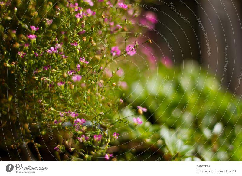 Warm Umwelt Natur Frühling Sommer Wetter Schönes Wetter Pflanze Blume Blatt Blüte Grünpflanze außergewöhnlich frisch schön natürlich positiv grün rosa Farbfoto