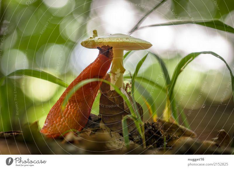rote Wegschnecke bei der Mahlzeit Umwelt Natur Pflanze Tier Frühling Sommer Herbst Schönes Wetter Gras Pilzhut Park Wald Wildtier Schnecke Nacktschnecken 1