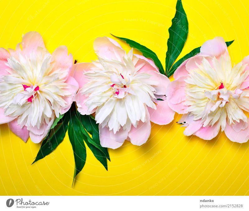 Knospen von rosa blühenden Pfingstrosen Natur Pflanze Farbe grün weiß Blume Blatt gelb Blüte natürlich Feste & Feiern hell frisch Geburtstag Blühend