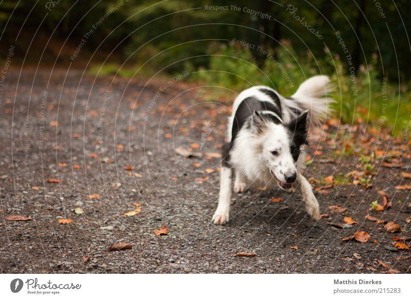 verspielt Tier Haustier Hund 1 Spielen Hundekopf Hundeschnauze Collie Startposition gefleckt schwarz weiß Natur Wege & Pfade Farbfoto Außenaufnahme