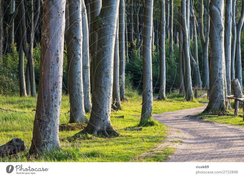 Küstenwald an der Ostsee bei Nienhagen Erholung Ferien & Urlaub & Reisen Tourismus Natur Landschaft Baum Gras Wald Wege & Pfade grün Romantik Idylle