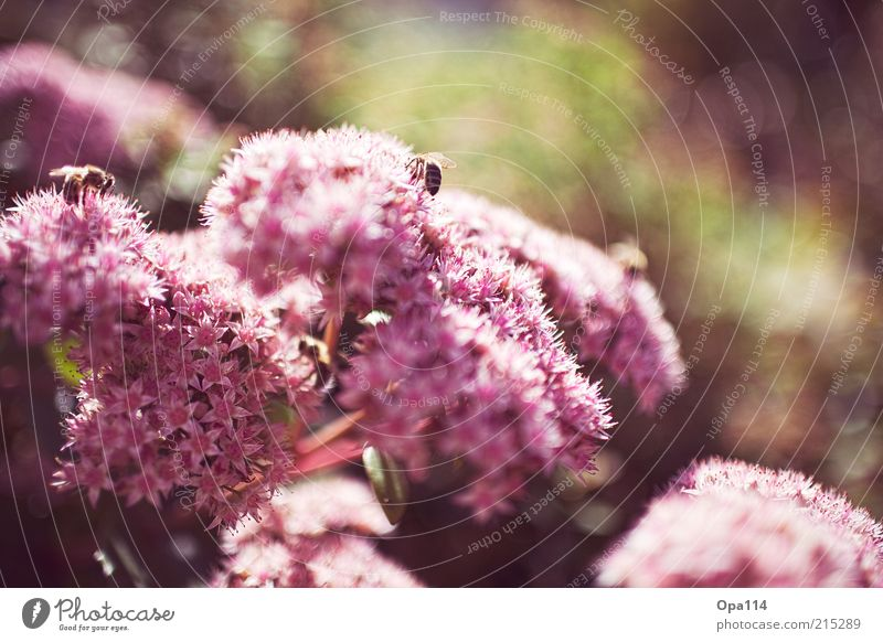 von Bienen und Blumen Natur grün Pflanze Sommer ruhig Tier Leben Blüte Frühling Wärme rosa Umwelt leuchten Schönes Wetter