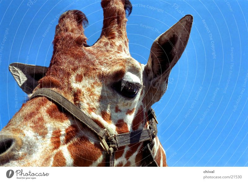 Giraffe Zoo Giraffe