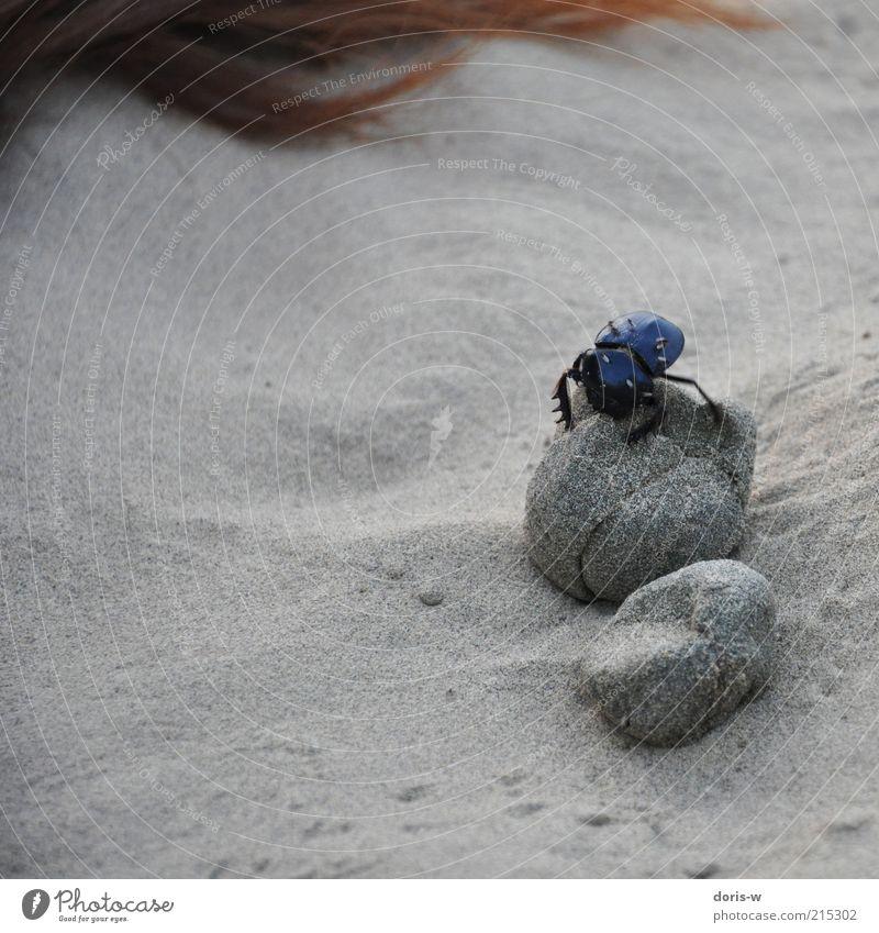 dung beetle Tier Sand Insekt Spuren Kot exotisch Käfer krabbeln