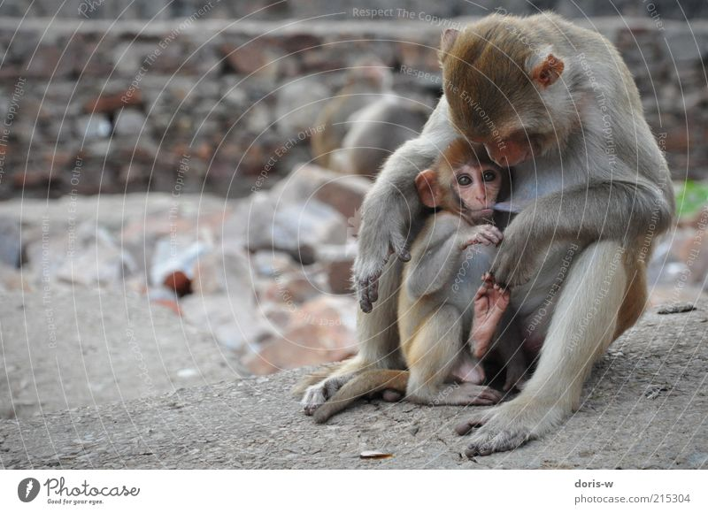 muttersöhnchen Tier Wildtier Zoo Tierfamilie Affen Auge saugen Brustwarze Zusammensein sitzen Partnerschaft Angst behüten Indien exotisch Ohr braun Fell trinken