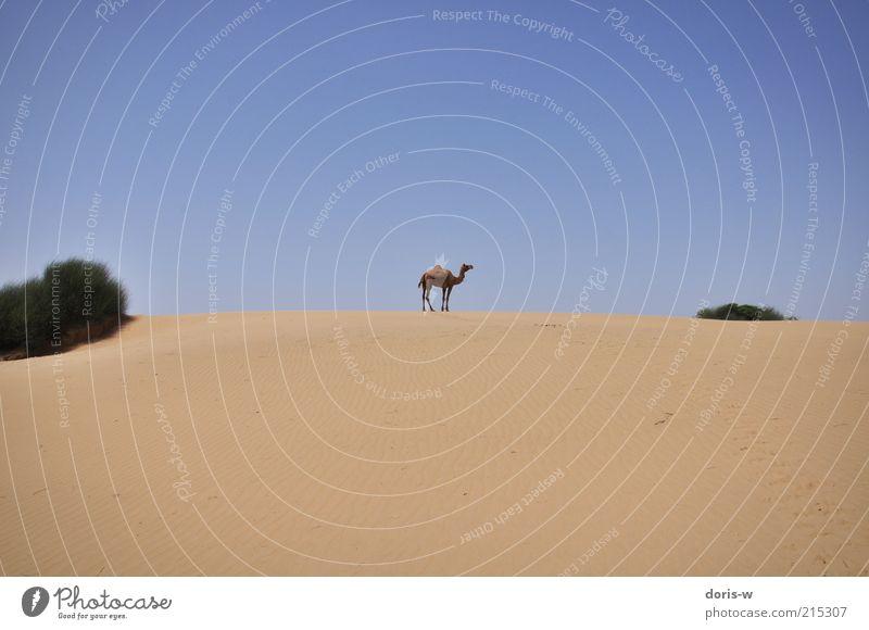 thar desert Sand Himmel Wolkenloser Himmel Dürre Sträucher Wüste Oase Tier Nutztier Wildtier 1 ästhetisch Kamel Kamelhöcker Dromedar Wüste Thar Einsamkeit