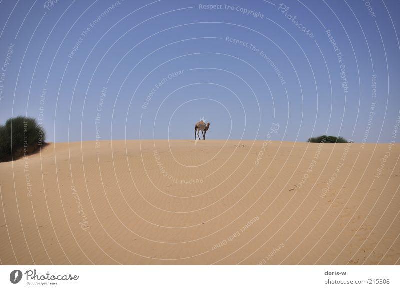 dromedar Sand Himmel Wolkenloser Himmel Sonne Wärme Dürre Sträucher Strand Wüste Oase Tier Nutztier Wildtier 1 exotisch Dromedar Kamel Kamelhöcker gehen