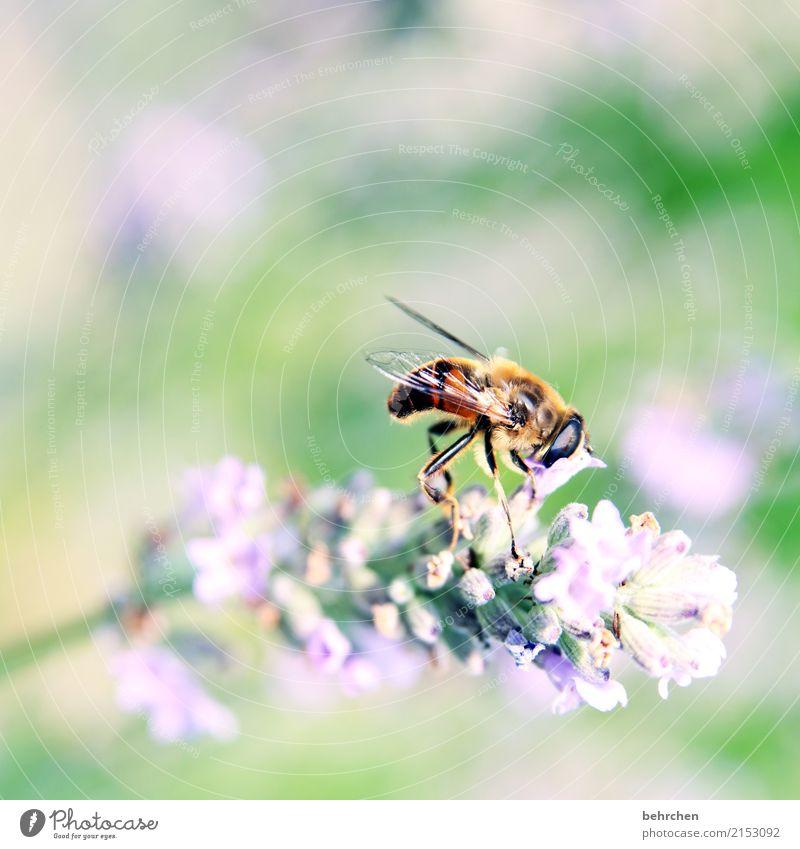 den kopf in die blüte stecken... Natur Pflanze Tier Sommer Schönes Wetter Blume Blatt Blüte Lavendel Garten Park Wiese Wildtier Biene Tiergesicht Flügel 1