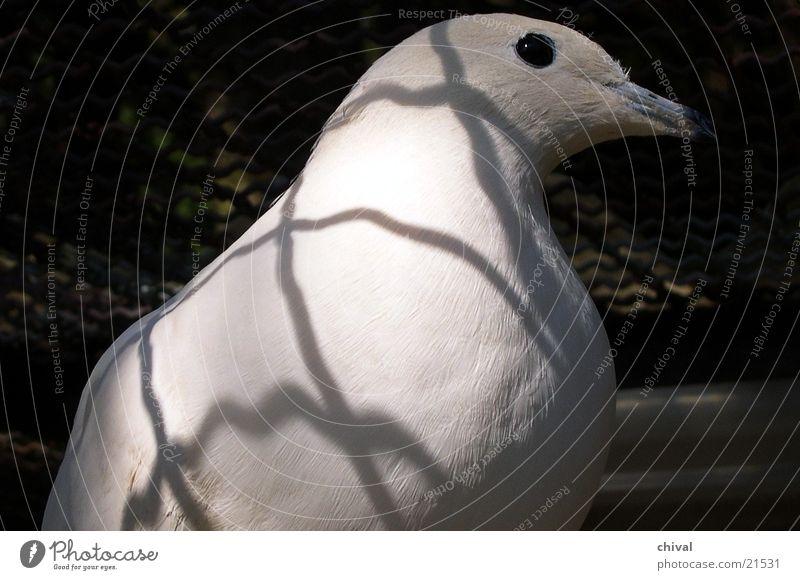 Taube Vogel Gitter Käfig Zoo Schatten Kontrast