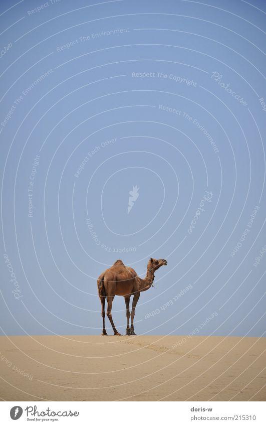 camel safari Himmel blau Einsamkeit Tier Freiheit Kopf Sand Wärme Beine Horizont stehen Wüste Wildtier trocken Indien Düne
