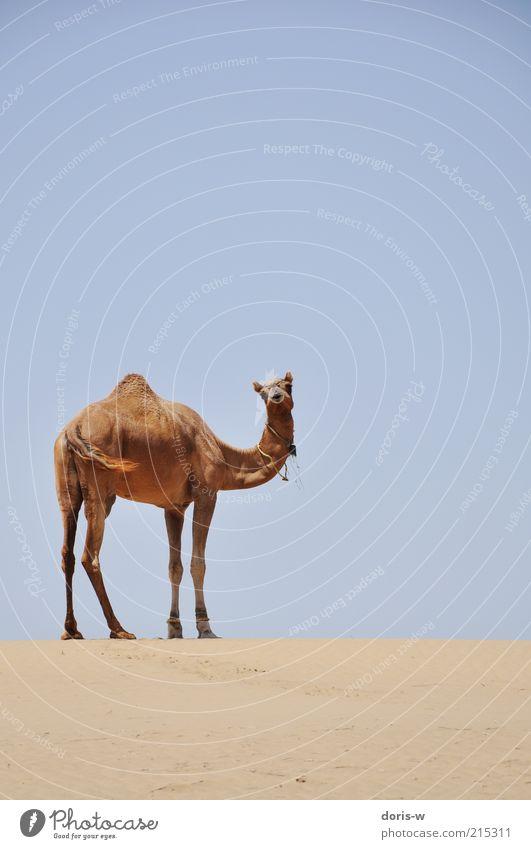 thar desert II Himmel Ferien & Urlaub & Reisen Einsamkeit Tier Freiheit Kopf Wärme Sand Horizont ästhetisch Wüste Wildtier Indien Hals Schwanz Dürre