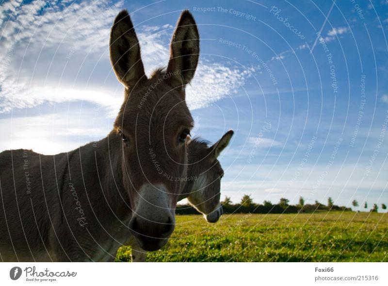 Esel im Doppelpack Ferne Natur Wolken Schönes Wetter Gras Feld Nutztier Tiergesicht 2 Tierpaar Bewegung füttern Wachstum authentisch Zusammensein schön stark