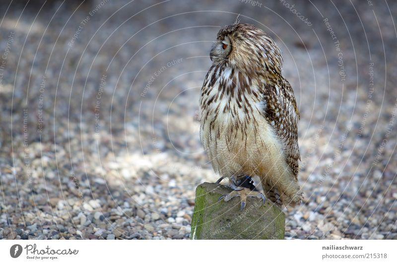 Eule Tier Stein braun Vogel sitzen Feder beobachten Wildtier Eulenvögel Uhu