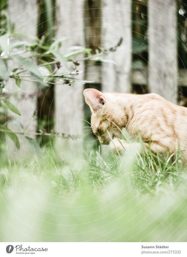 Zeit für mich. Garten Tier Haustier Wildtier Katze Tiergesicht Pfote Tierjunges Sauberkeit Reinigen Zaun rot eng fleißig Katzenpfote Farbfoto Außenaufnahme