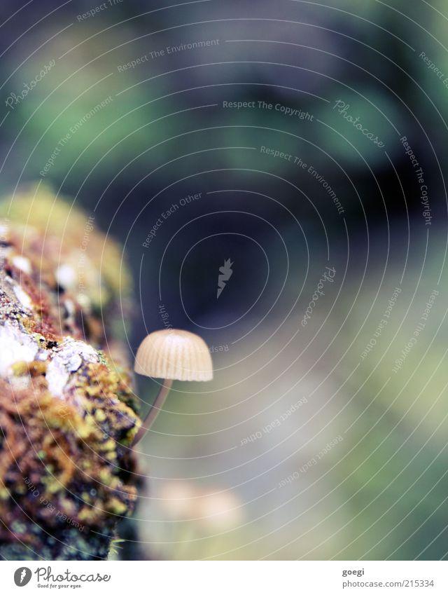 schöne Farben mit störendem Pilz Umwelt Natur Pflanze Herbst Baum Moos Pilzhut Moor Sumpf Holz klein Farbfoto Außenaufnahme Menschenleer Textfreiraum rechts