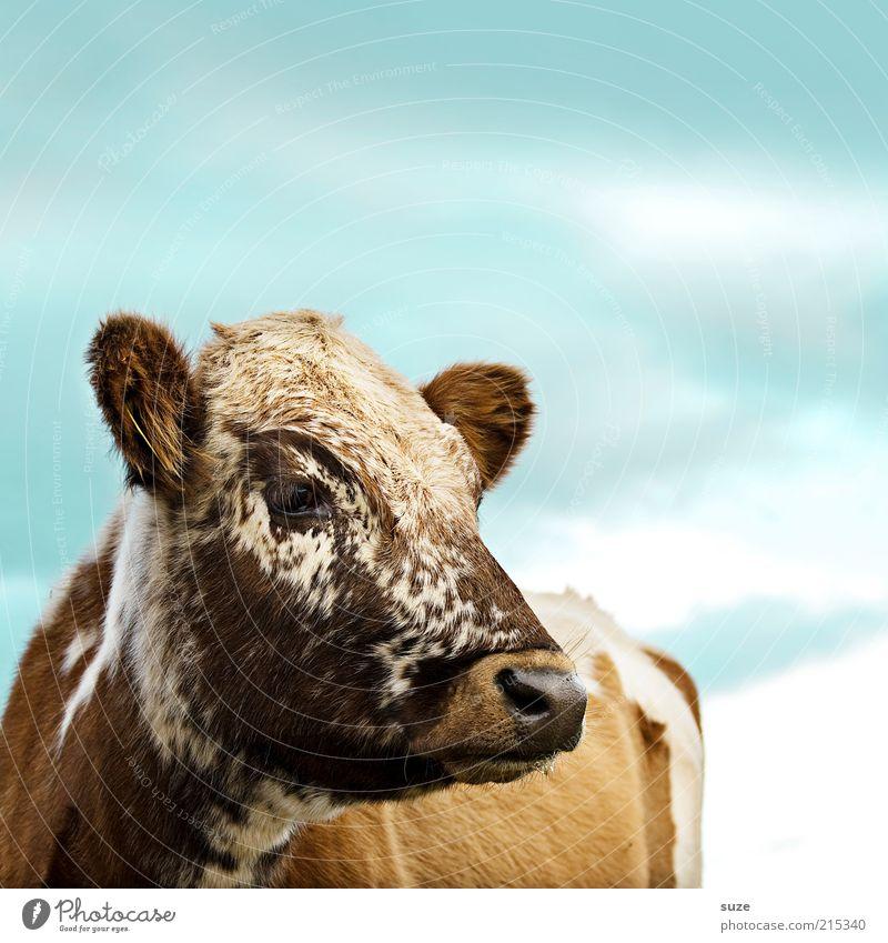 Cappuccino Natur Tier Himmel Nutztier Kuh Tiergesicht 1 außergewöhnlich niedlich blau braun Kalb Rind scheckig Landleben Landwirtschaft Viehzucht Milchkuh Blick