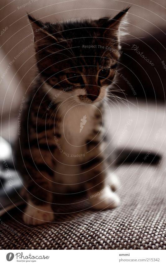 Getigertes Sofa Tier Haustier Katze Tiergesicht Fell Pfote 1 Tierjunges Blick sitzen schön kuschlig klein niedlich grau weiß Sympathie Tierliebe Schnurrhaar