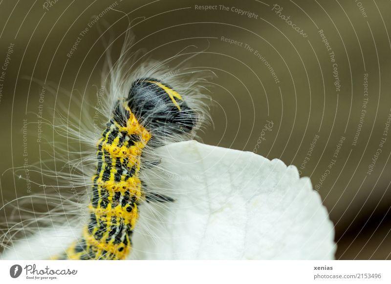 Ausschau halten Sommer weiß Tier schwarz gelb Garten beobachten Schmetterling gestreift Behaarung Raupe Hortensie haarig